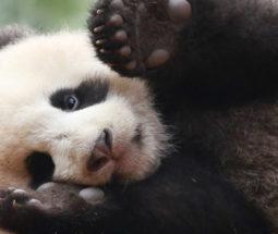 大熊猫科普工作坊