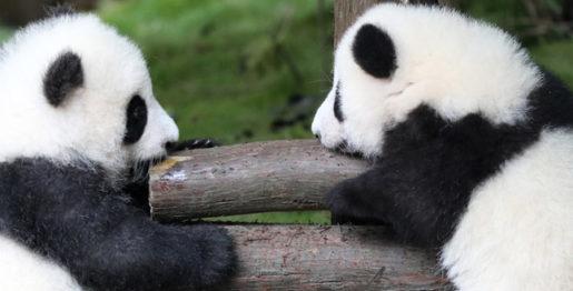 Semaine de la culture du panda sino-française