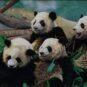 17、大熊猫 Pandas géants 朱金莲/中国 Zhu Jinlian/Chine